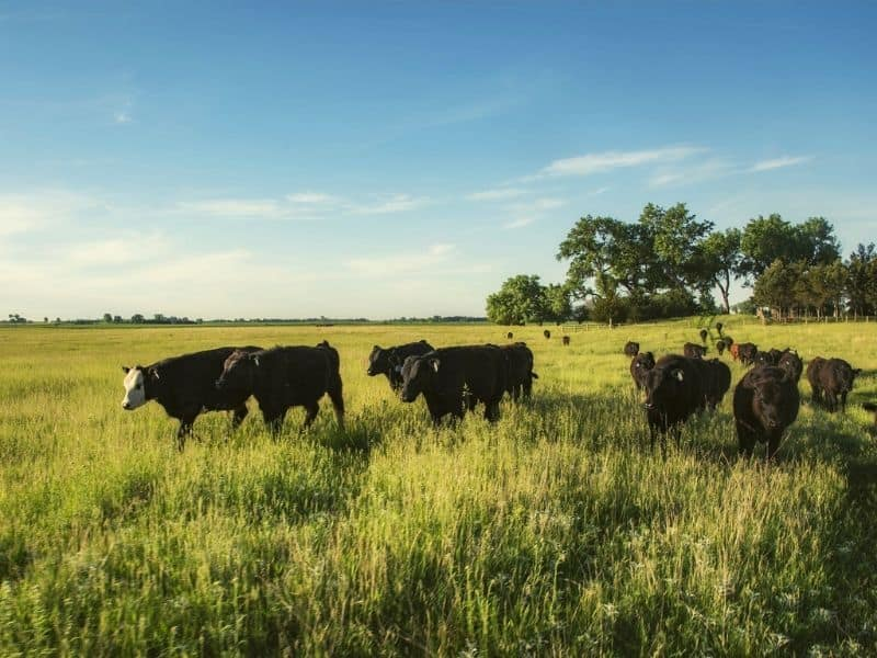 cattle on a pasture